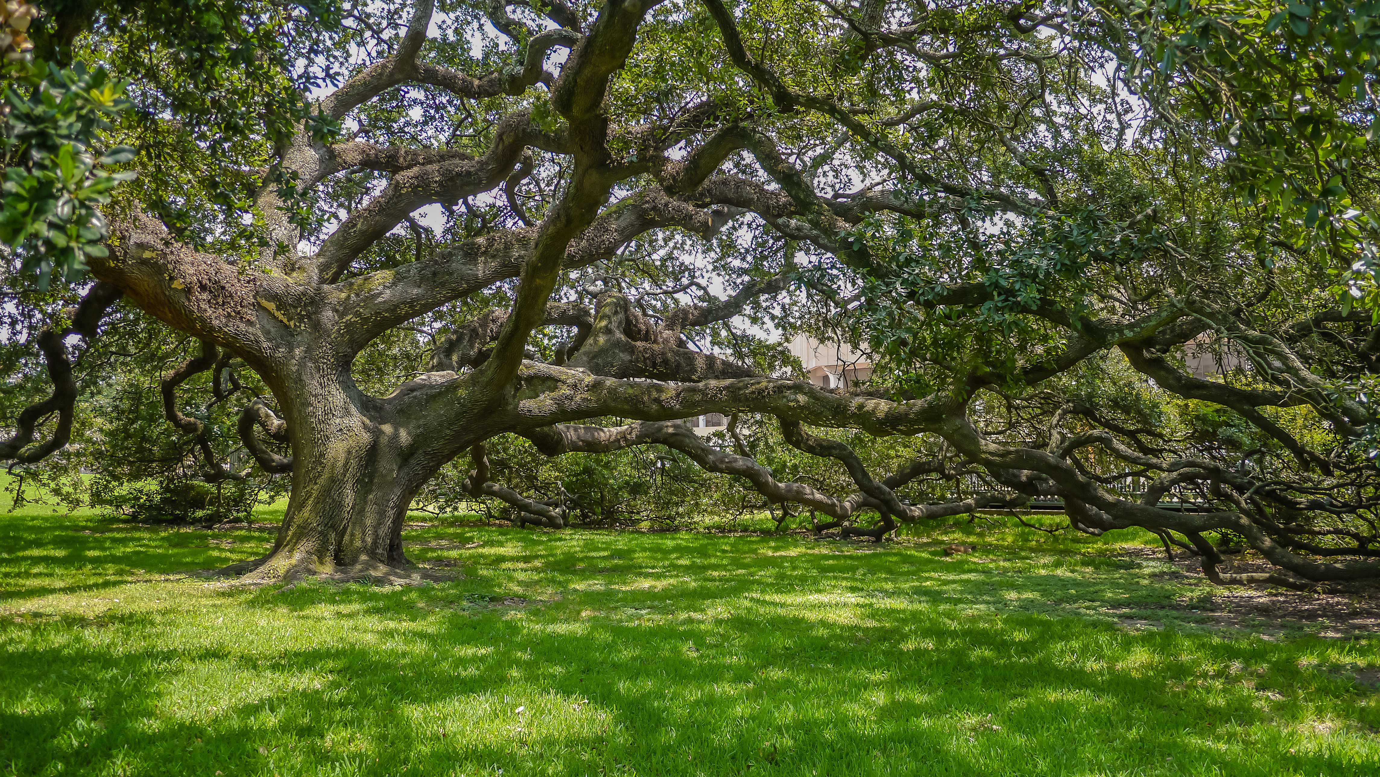 A large oak tree with long, low branches shading the grass-covered ground.